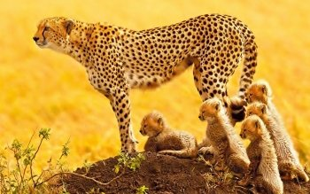 Animalia - Cheetah Wallpapers and Backgrounds ID : 468374