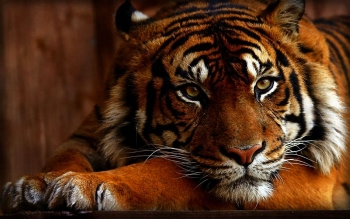 Animal - Tiger Wallpapers and Backgrounds ID : 468937
