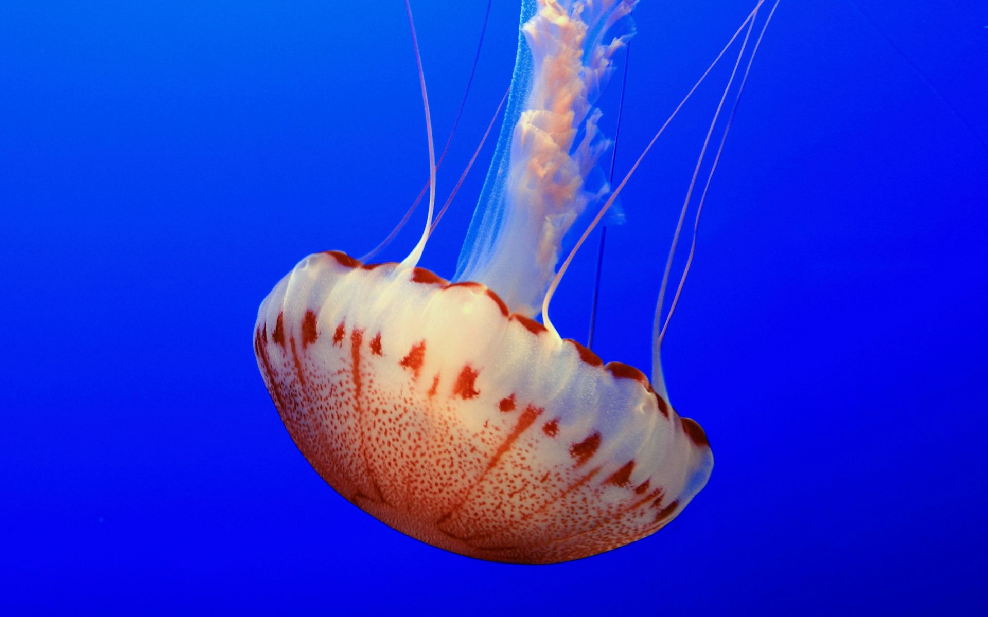 Top 27 Sea Animals Wallpapers In Hd: Jellyfish HD Wallpaper