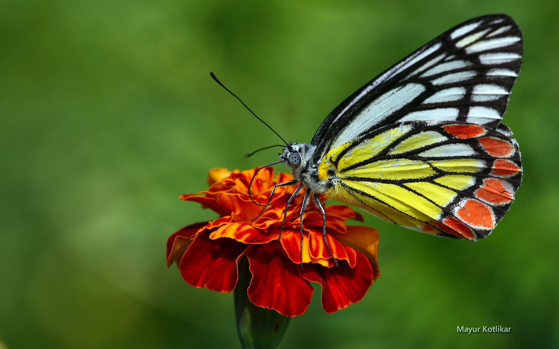 Butterfly HD Wallpaper   Background Image   1920x1200   ID ...