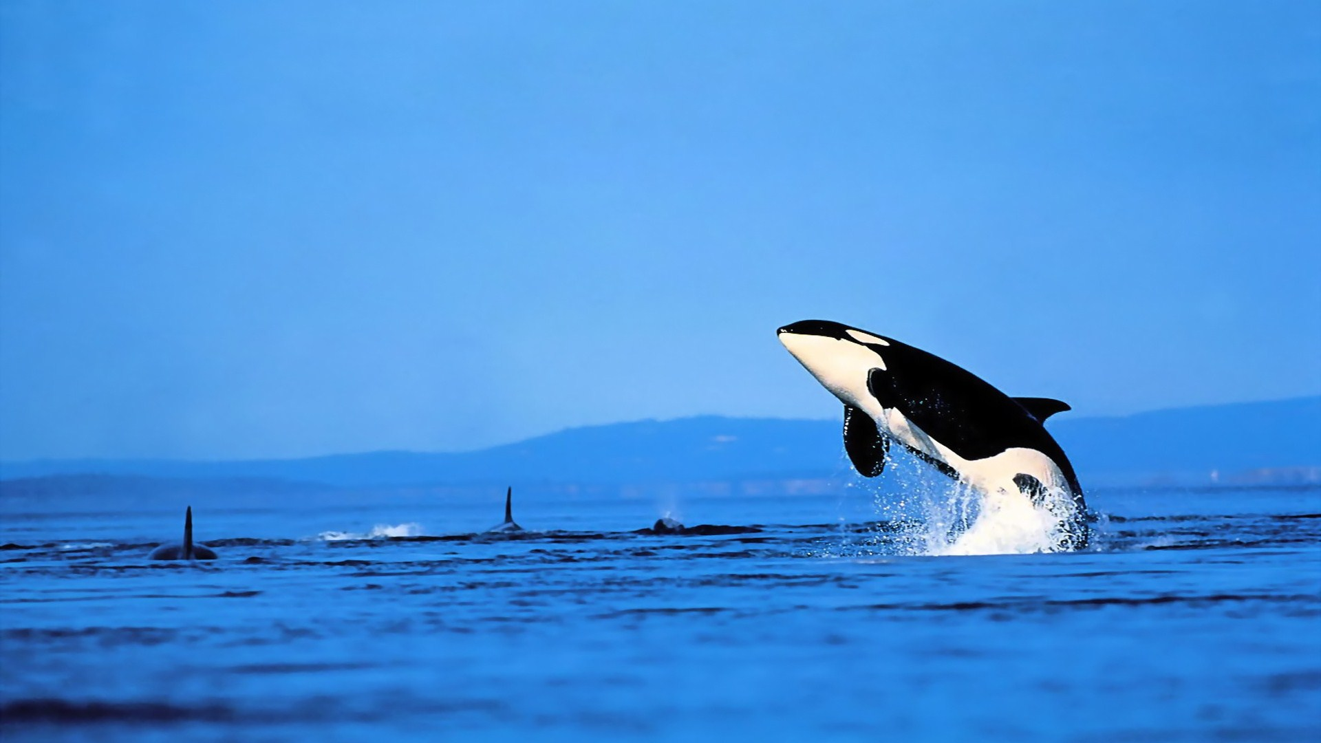 killer whales A new zealand woman recorded the terrifying moment the sight of a killer whale  sent terrified swimmers scampering towards shore.