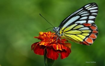 Animal - Butterfly Wallpapers and Backgrounds ID : 469359