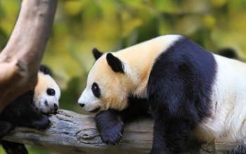 Animal - Panda Wallpapers and Backgrounds ID : 469658