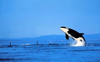 Animal - Orca Wallpapers and Backgrounds ID : 469923