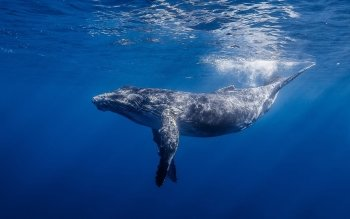 Animal - Whale Wallpapers and Backgrounds ID : 470136