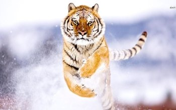Tier - Tiger Wallpapers and Backgrounds ID : 475569