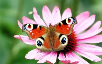 Animal - Butterfly Wallpapers and Backgrounds ID : 477934