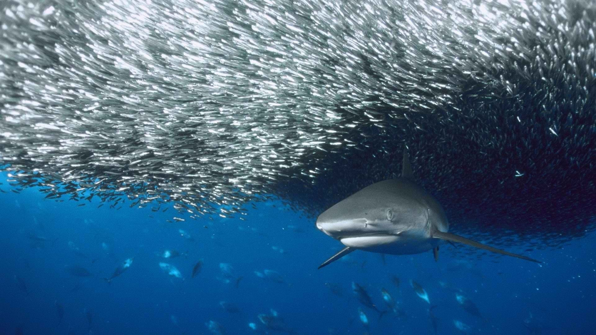Animal - Shark  Animal Wallpaper