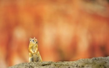 Animal - Squirrel Wallpapers and Backgrounds ID : 480820