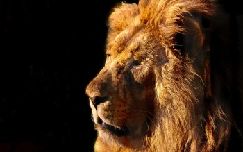 Animal - Lion Wallpapers and Backgrounds ID : 480824
