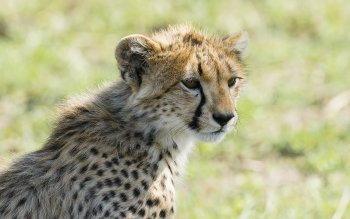 Djur - Cheetah Wallpapers and Backgrounds ID : 480828