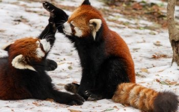 Animal - Red Panda Wallpapers and Backgrounds ID : 485837