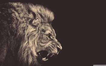 Animal - Lion Wallpapers and Backgrounds ID : 488601