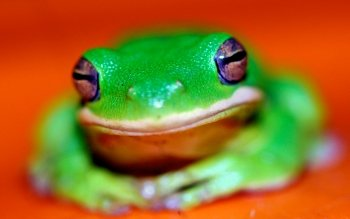 Animal - Frog Wallpapers and Backgrounds ID : 489105