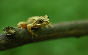 Animal - Frog Wallpapers and Backgrounds ID : 490671