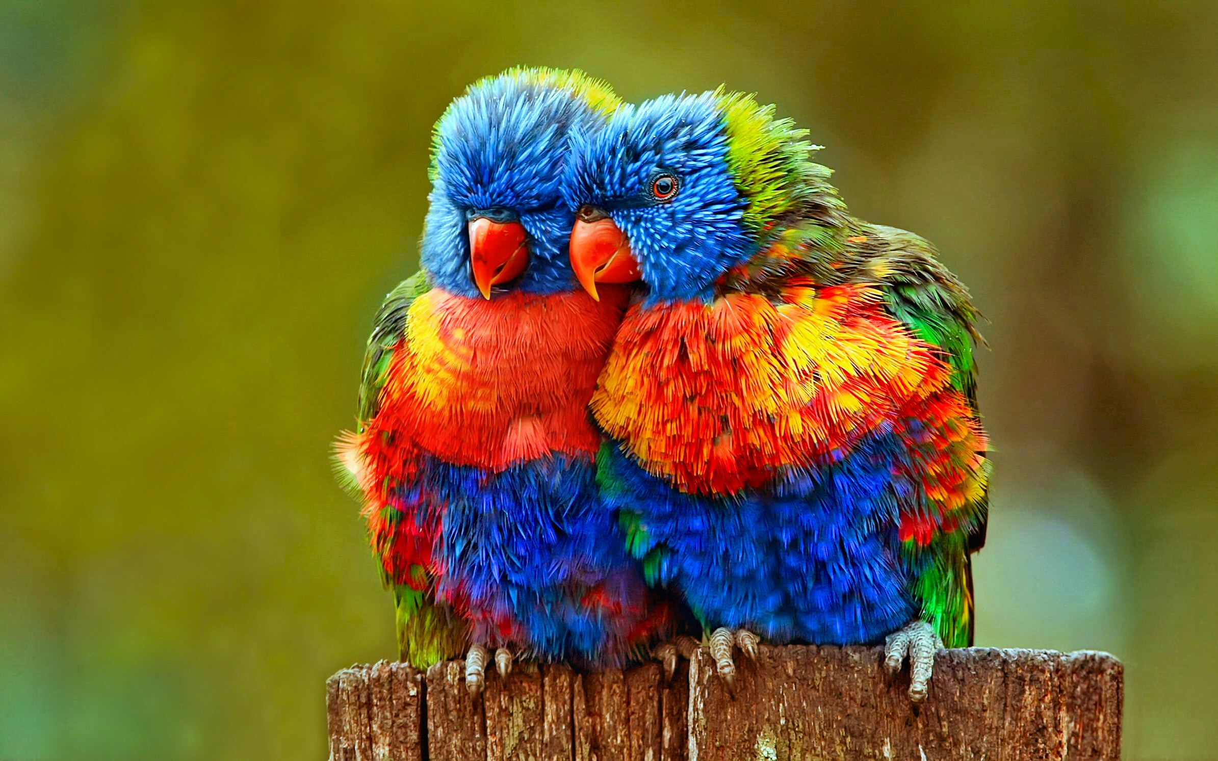 81 Rainbow Lorikeet HD Wallpapers | Backgrounds ...