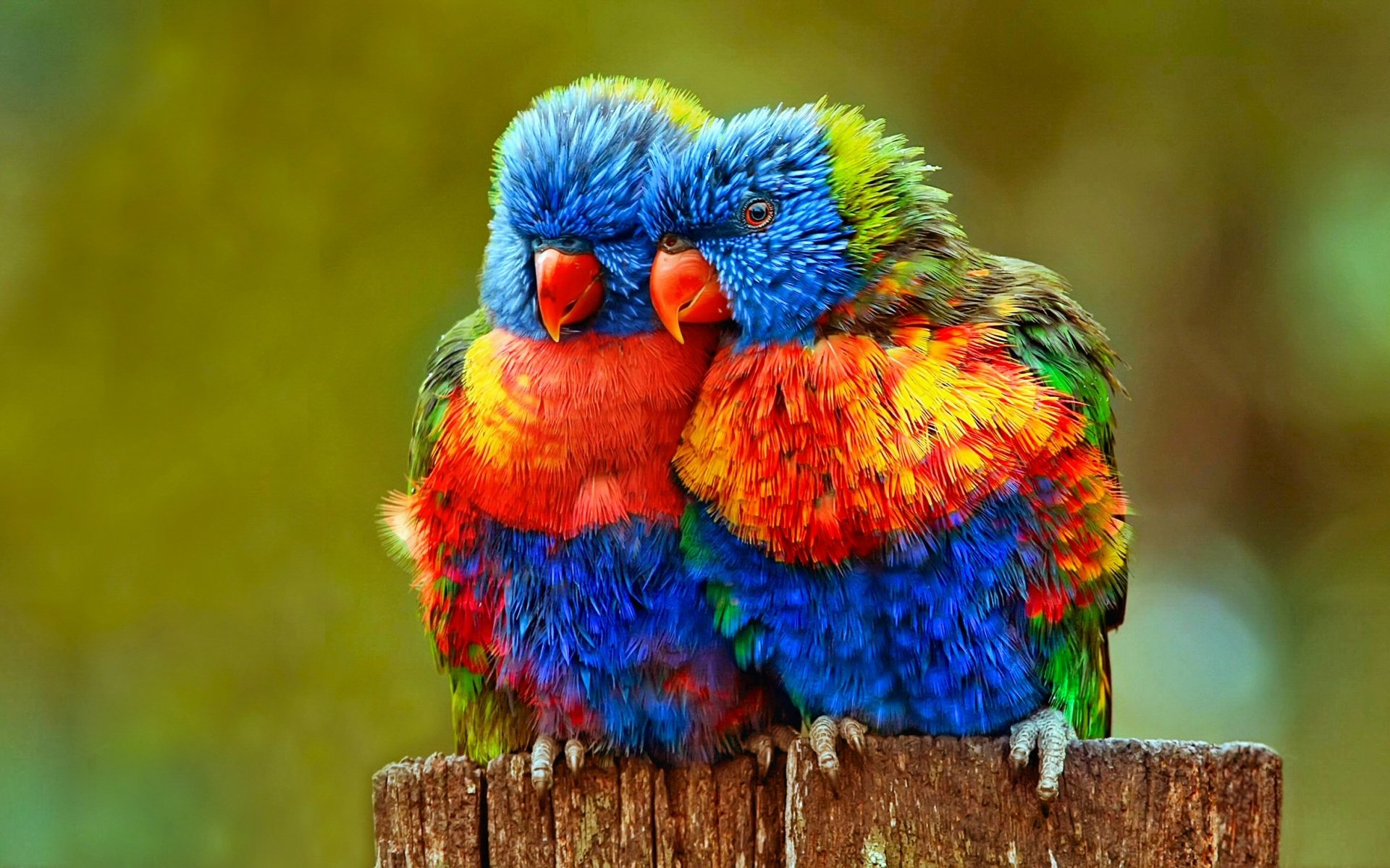 Animal - Rainbow Lorikeet  Lovebird Parrot Lorikeet Bird Colorful Close-Up Wallpaper