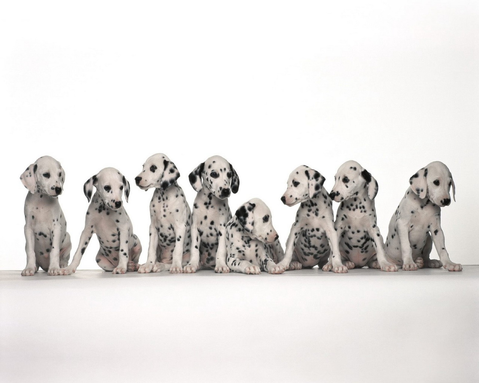 Animal - Dalmatian Wallpaper