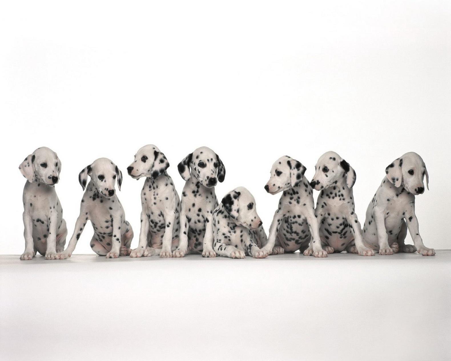 Animal - Dalmatian  Wallpaper