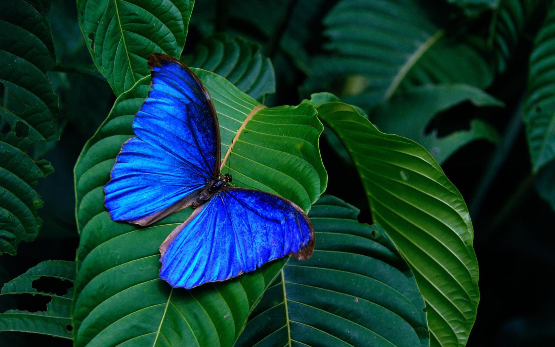 Blue Morpho Butterfly HD Wallpaper