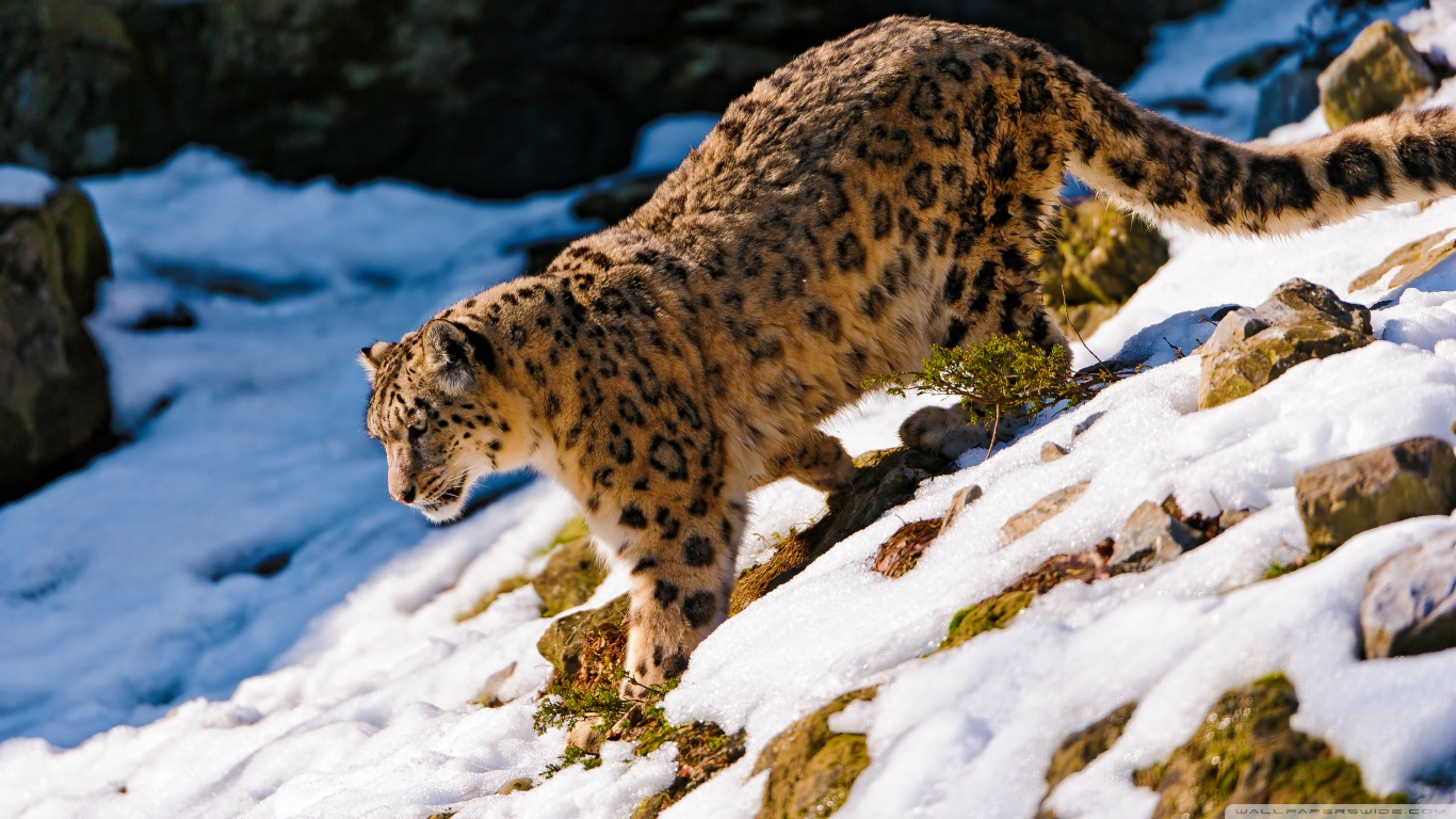 Snow Leopard Wallpaper And Background Image
