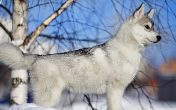 Animal - Husky Wallpapers and Backgrounds ID : 498225