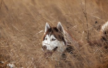 Animal - Siberian Husky Wallpapers and Backgrounds ID : 498799