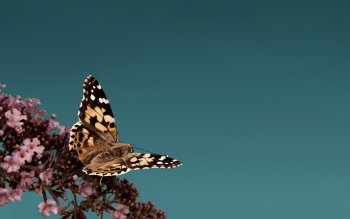 Animal - Butterfly Wallpapers and Backgrounds ID : 498989