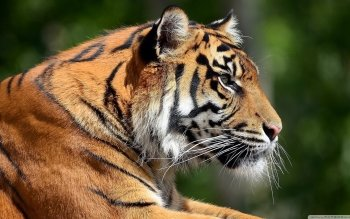 Animal - Tiger Wallpapers and Backgrounds ID : 499511