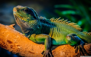 Animal - Iguana Wallpapers and Backgrounds ID : 499856