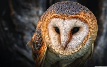 Animal - Owl Wallpapers and Backgrounds ID : 502651