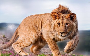 Animal - Lion Wallpapers and Backgrounds ID : 502658