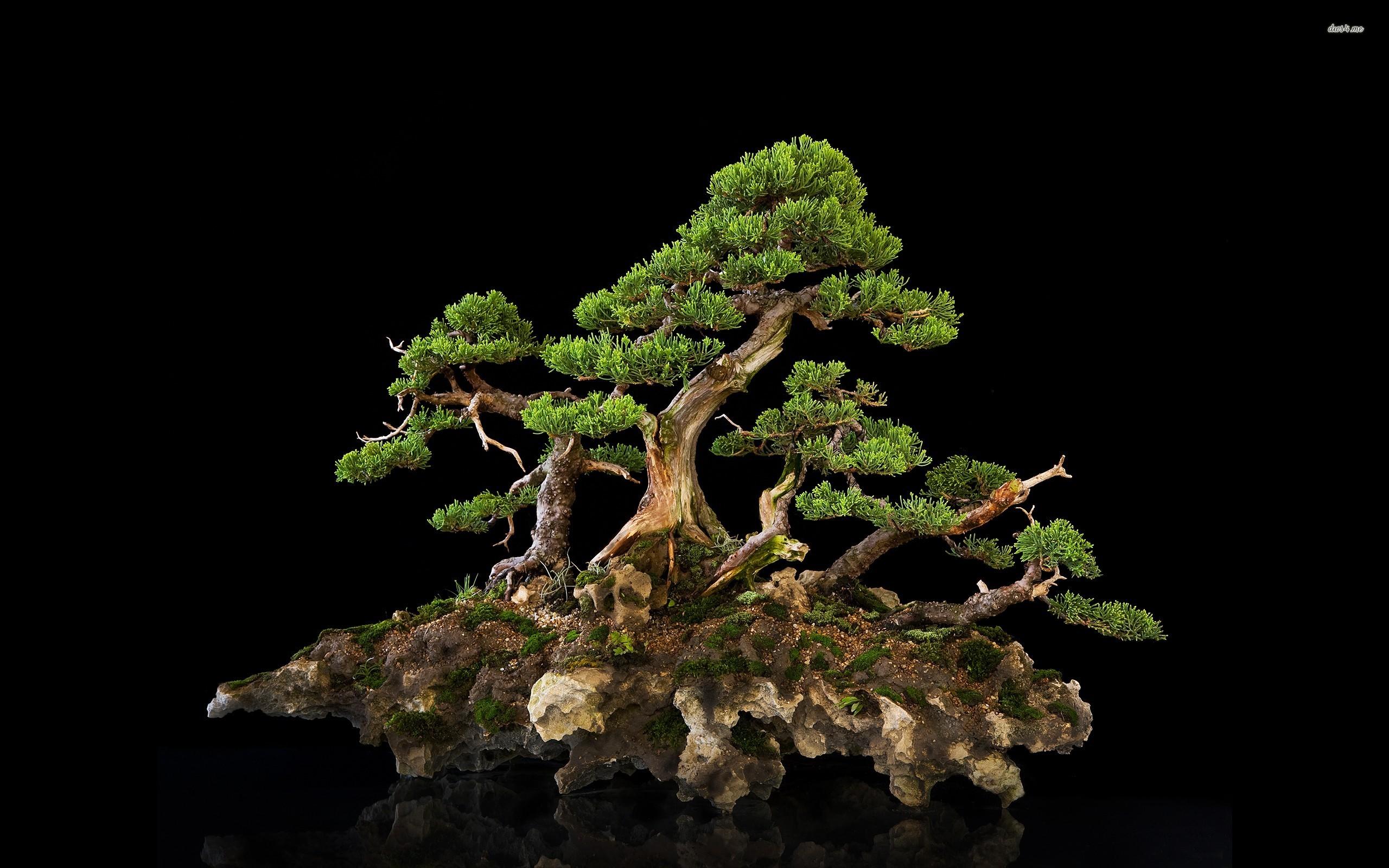 bonsai full hd wallpaper and background image 2560x1600
