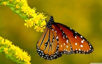Animal - Butterfly Wallpapers and Backgrounds ID : 504051