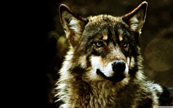 Dierenrijk - Wolf Wallpapers and Backgrounds ID : 504275