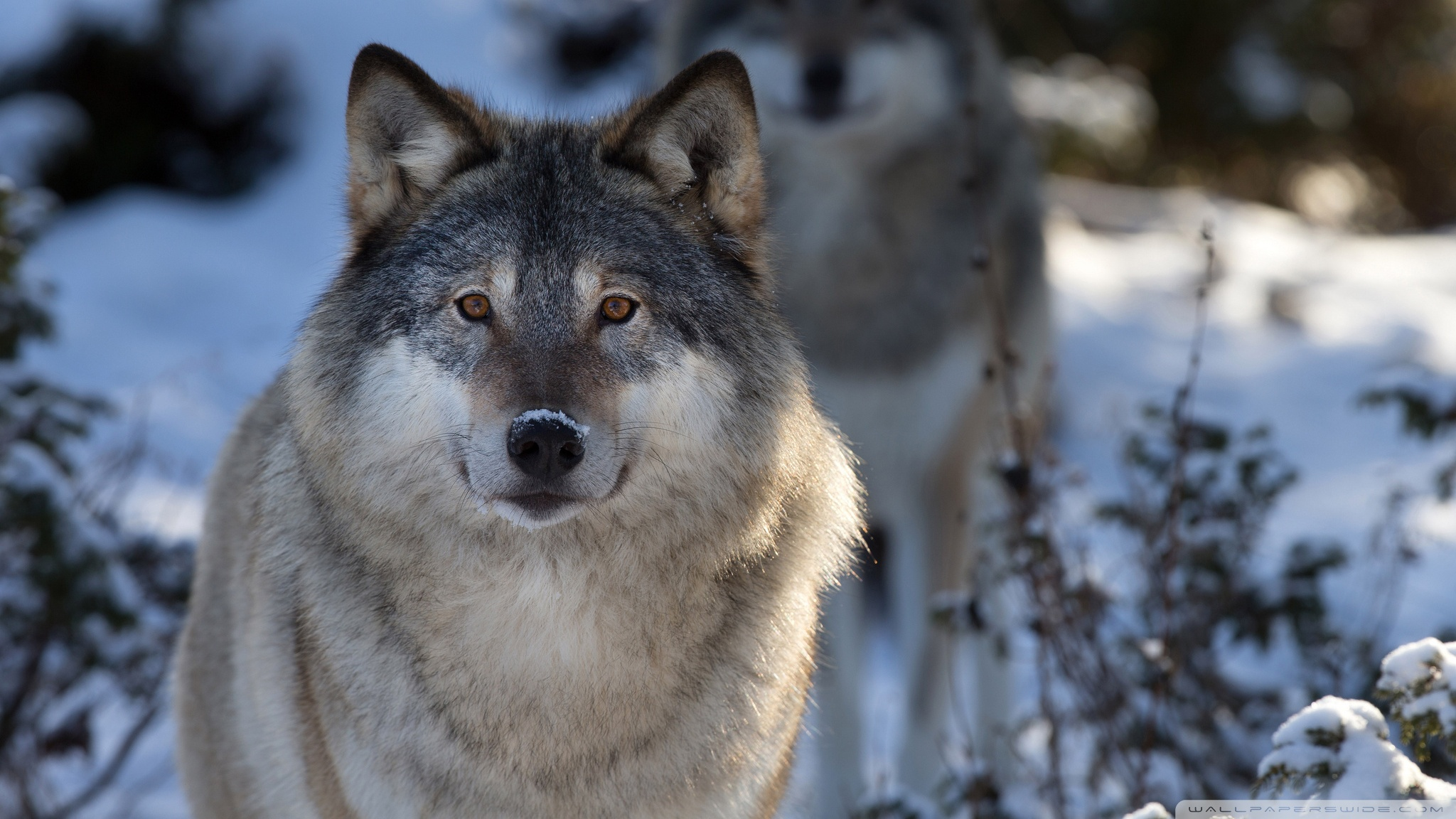 wolf wallpapers ndash animal - photo #2