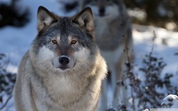 Animal - Wolf Wallpapers and Backgrounds ID : 505011