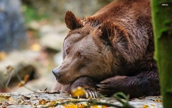 Animal - Bear Wallpapers and Backgrounds ID : 506753