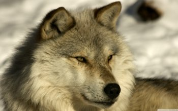 Animal - Wolf Wallpapers and Backgrounds ID : 507084