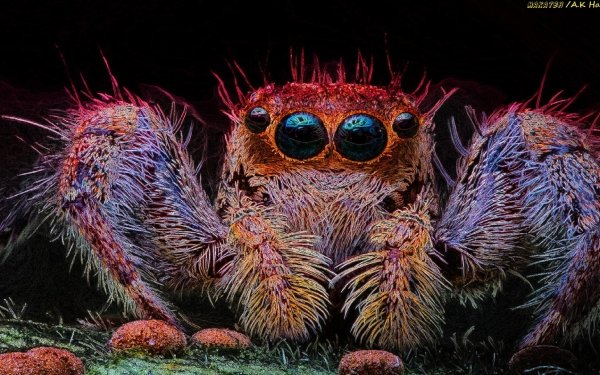 Animal Spider Spiders Nature Jumping Spider HD Wallpaper | Background Image