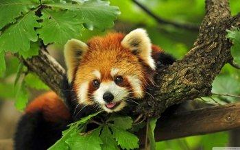 Animaux - Panda Roux Fonds d'écran et Arrière-plans ID : 508662