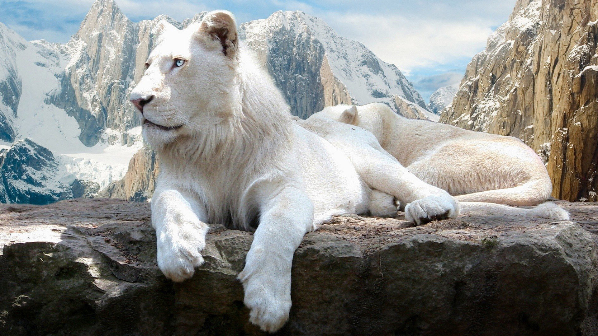 21 White Lion HD Wallpapers