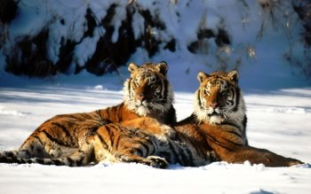 Animal - Tiger Wallpapers and Backgrounds ID : 509787