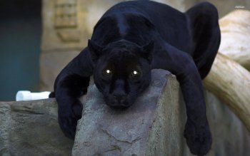 Animal - Black Panther Wallpapers and Backgrounds ID : 512022