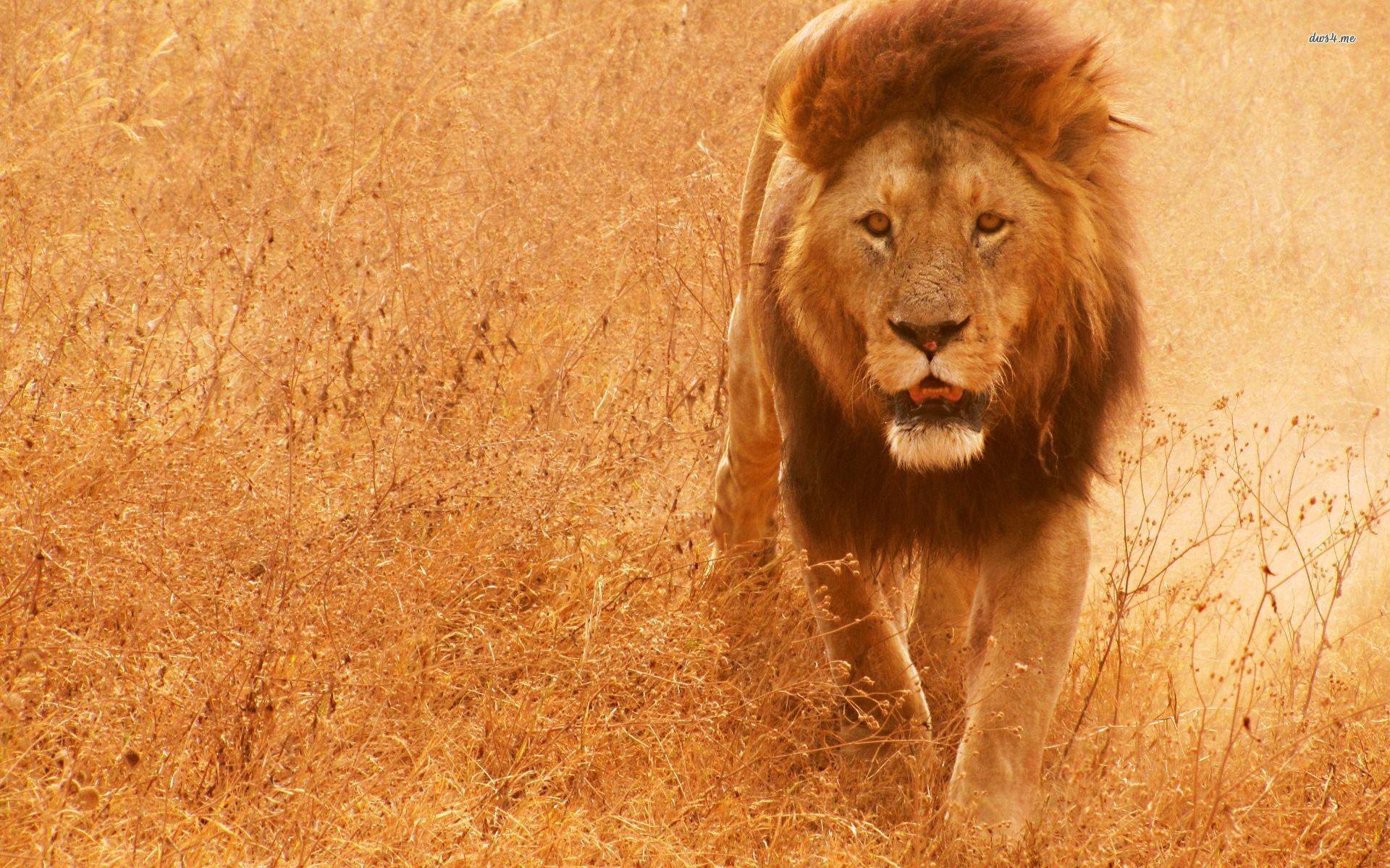 Animals Happy Lion Wallpapers Hd Desktop And Mobile: Lion Full HD Wallpaper And Background Image