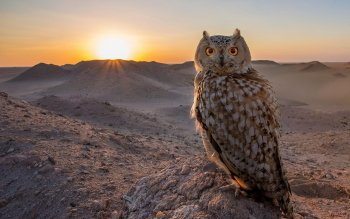 Animal - Owl Wallpapers and Backgrounds ID : 515579