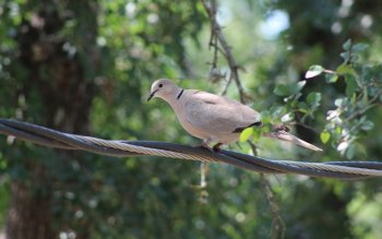 Animal - Dove Wallpapers and Backgrounds ID : 516998