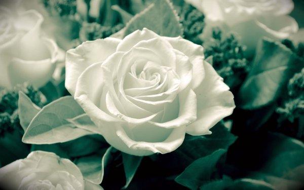 Earth Rose Flowers Flower Nature White Rose White Flower HD Wallpaper | Background Image