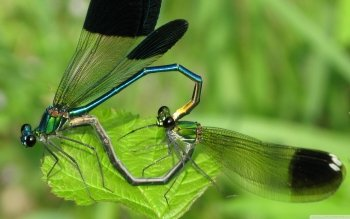 Animal - Dragonfly Wallpapers and Backgrounds ID : 521457