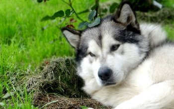 Animal - Malamute Wallpapers and Backgrounds ID : 523113